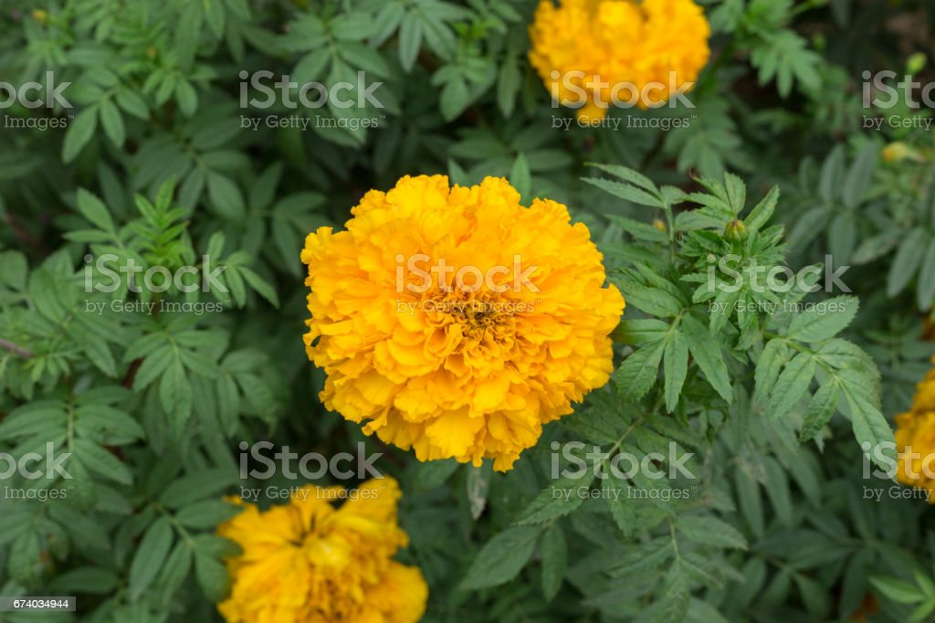 nature yellow marigolds on green leaves royalty-free stock photo