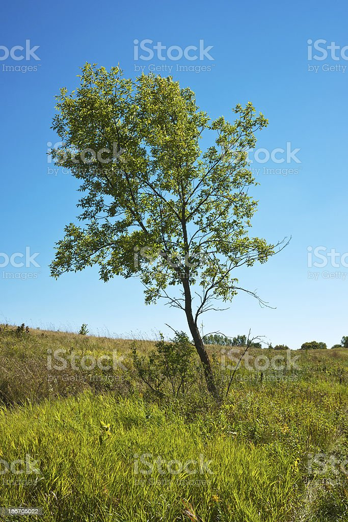 Nature:  Young Tree in Wild Meadow royalty-free stock photo