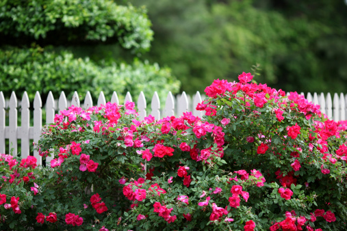 The beauty of a outdoor garden with white picket fence includeing knock out roses and lush foliage in the background.
