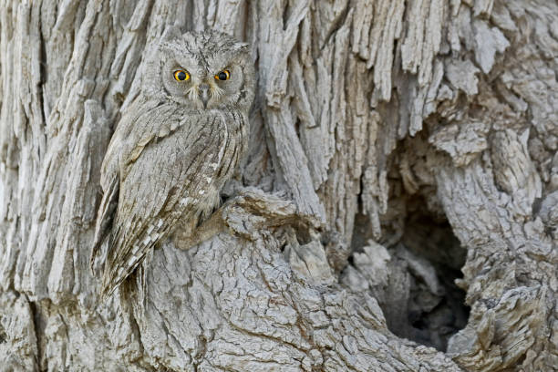 Nature's Camouflage (Pallid scops owl or striated scops owl.) The camouflage and concealment strategies of various animal species have been widely studied, but scientists from Exeter and Cambridge universities have discovered that individual wild birds adjust their choices of where to nest based on their specific patterns and colours.