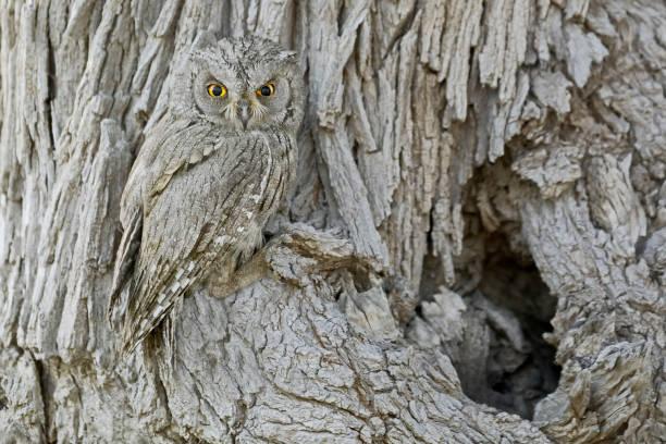 nature's camouflage (pallid scops owl or striated scops owl.) - kamuflaż zdjęcia i obrazy z banku zdjęć