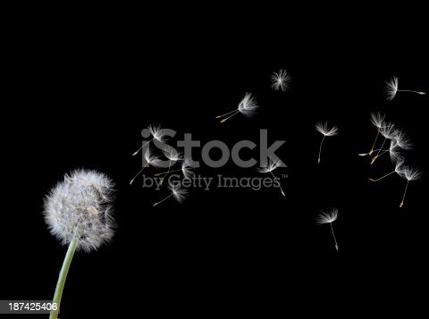 Faded Dandelion flower (Taraxacum officinale) sets free new life. The plumed seeds are dispersed by wind.