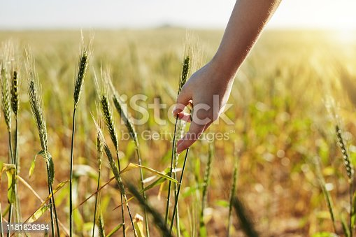 Cropped shot of an unrecognizable woman touching stalks of wheat while walking through a wheat field during the day
