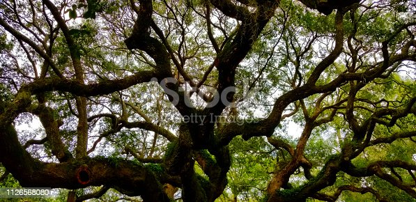 Live Oak Limbs and Branches