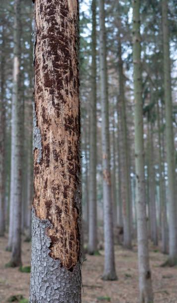 Naturkatastrophe Borkenkäferplage - Fichten verlieren ihre Rinde stock photo