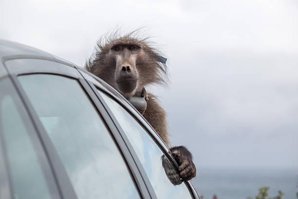 Naughty Baboon 1 – Foto