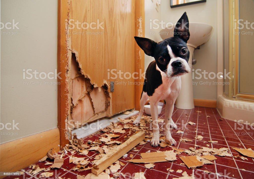 Naughty Boston Terrier royalty-free stock photo