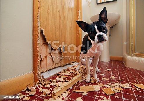 istock Naughty Boston Terrier 645347894