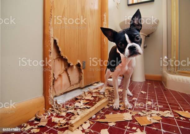 Naughty boston terrier picture id645347894?b=1&k=6&m=645347894&s=612x612&h=xjvc sxhqiksivuzx9gvupss6raprnrai9etsdzfylu=