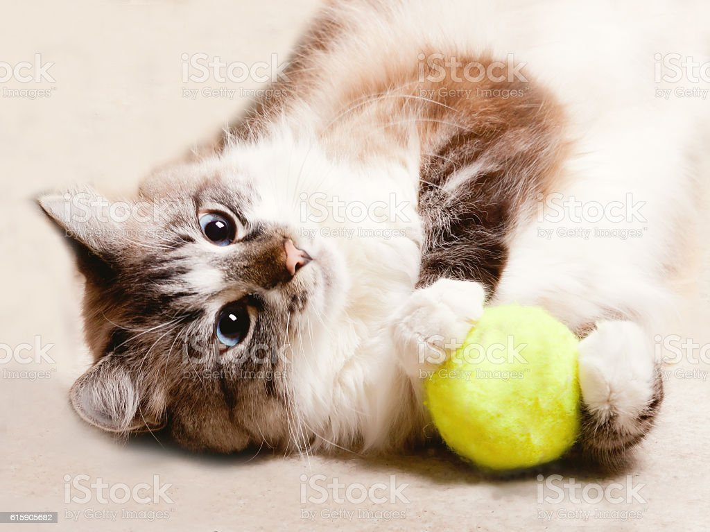 naughty cat playing with ball stock photo