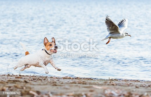 Jack Russell Terrier dog pursuits seagull