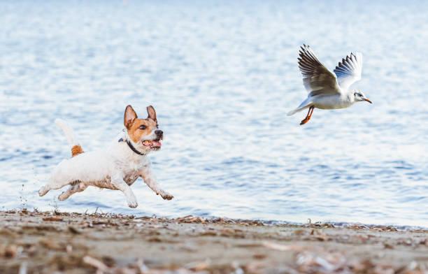 Naughty dog chasing gull bird playing on beach picture id1190369742?b=1&k=6&m=1190369742&s=612x612&w=0&h=hebnju3ep8zq9euqoa 8lzvxr ccgkzrb8zxb7kueow=
