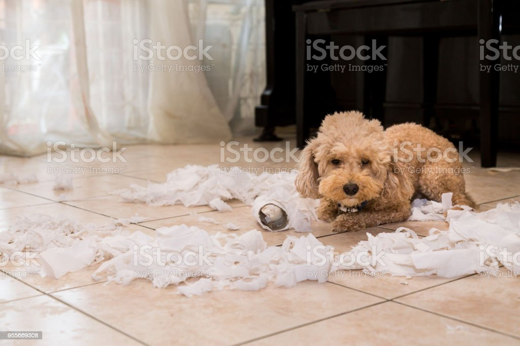 Naughty dog destroyed tissue roll into pieces when home alone stock photo