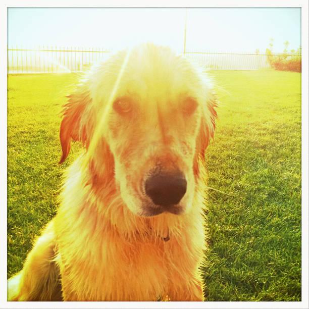 Naughty Dog Looking At Camera stock photo