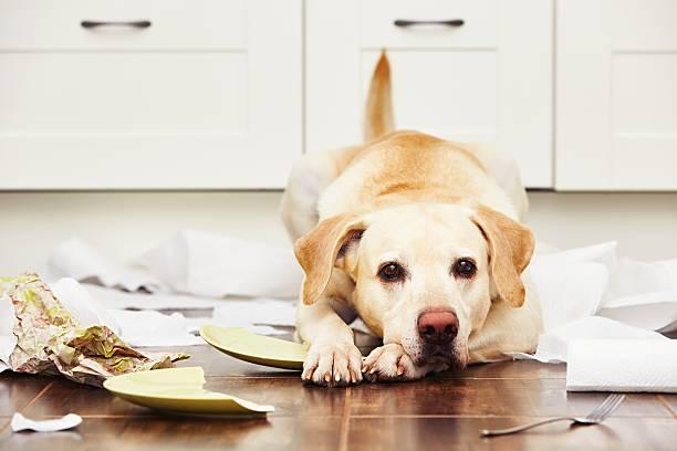 frech hund - anti unordnung stock-fotos und bilder