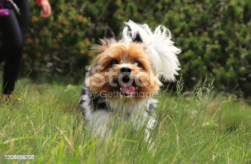 Naughty face of Biewer Terrier. Dog race which is only in Deutchland and czech republic. Biewer Yorkshire Terrier runs. Captured in motion. Open mouth, stick out her tongue. Speed racer. Tiny devil.