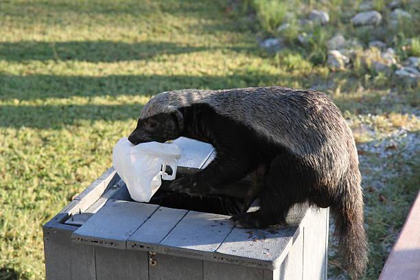 Naughty Honey Badger rading the dust bin stock photo