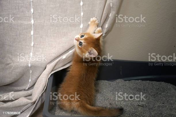 Naughty kitty immediately wants to climb on the curtain from the tray picture id1176389603?b=1&k=6&m=1176389603&s=612x612&h=5qidnyqd6qd xttwm xpz 9crtwqkmifwk4wmtpcn1e=