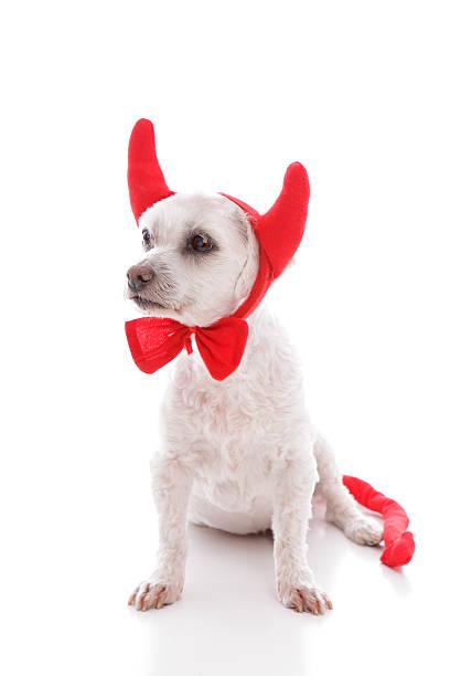naughty little lucifer dog stock photo