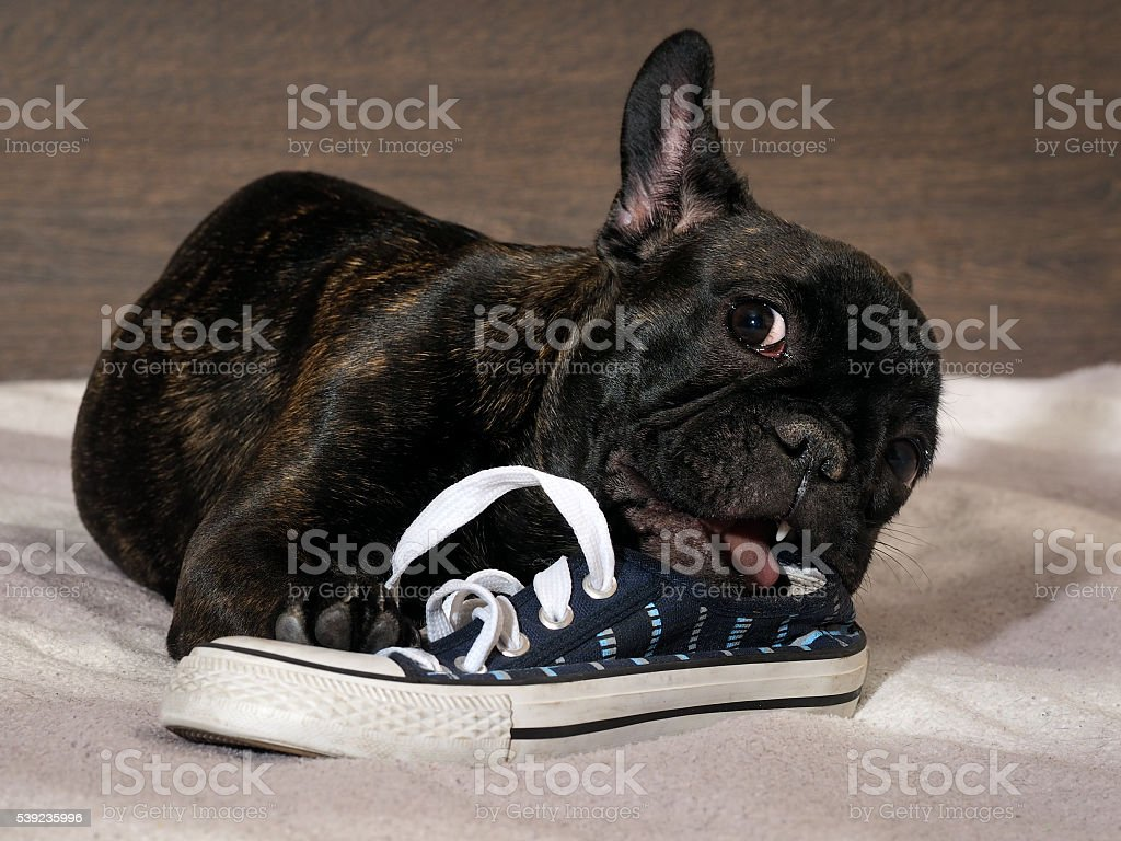 Naughty Puppy chewing shoes - sports shoes royalty-free stock photo
