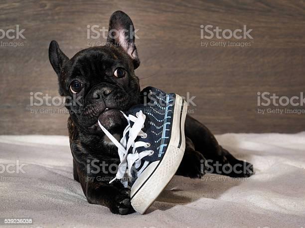 Naughty puppy chewing shoes sports shoes picture id539236038?b=1&k=6&m=539236038&s=612x612&h=620ut3hnhhowle2dw7mwmwqrtvdnfooforz5gfxux3k=