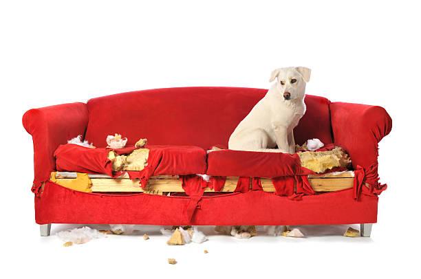 frech white labrador hund sitzen auf einem zerkaut bis couch - rot bekümmerte möbel stock-fotos und bilder