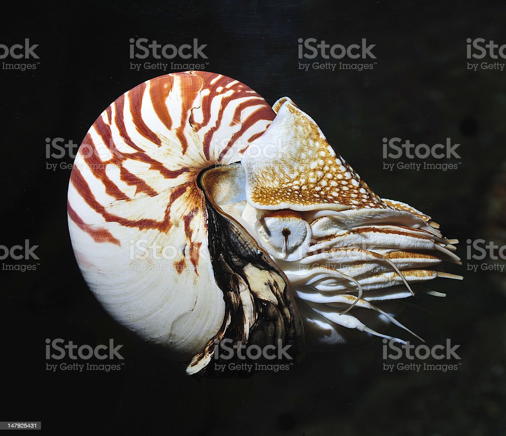 nautilus on black background stock photo