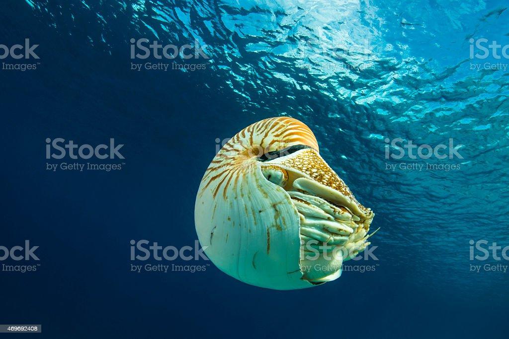 Nautilus - Palau stock photo