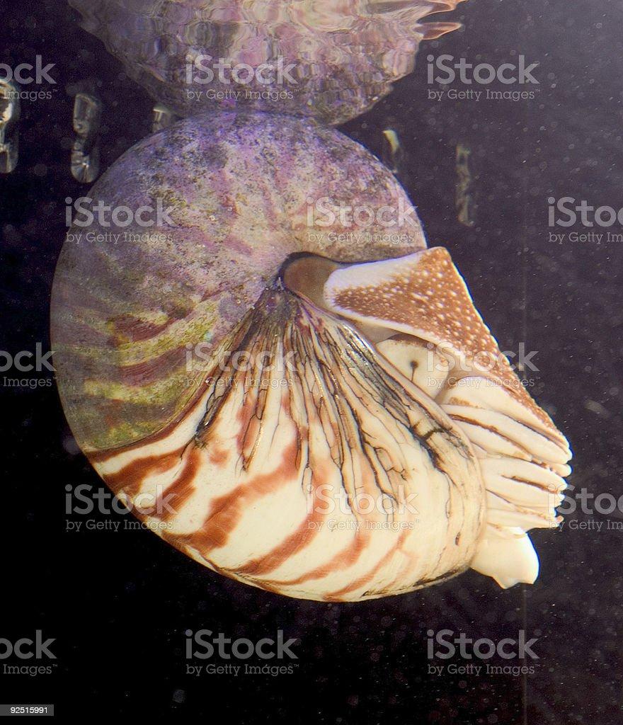 Nautilus royalty-free stock photo