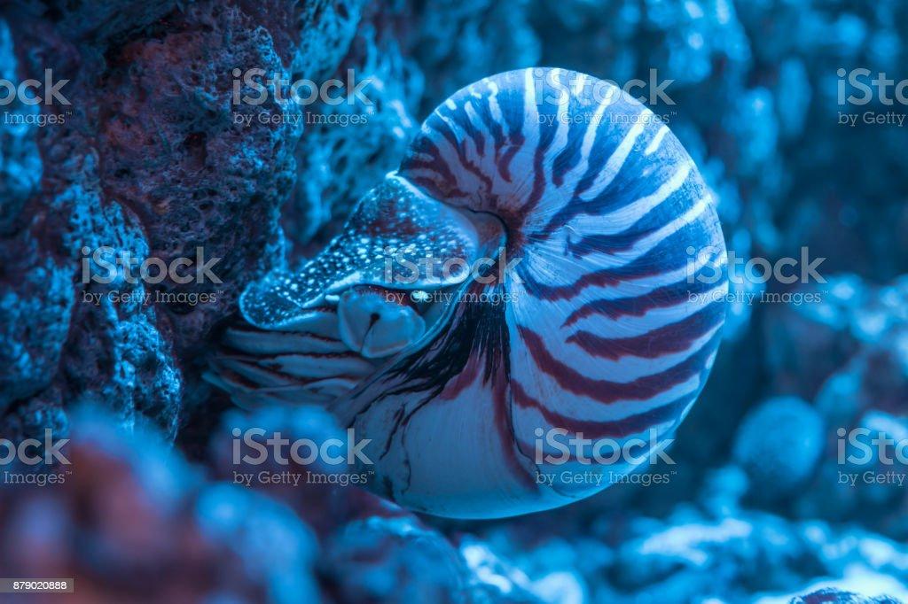 Nautilus shell closeup stock photo