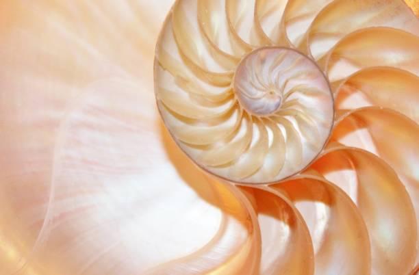 nautilus shell fibonacci symmetry cross section spiral golden ratio (nautilus pompilius) seashell half slice - golden ratio стоковые фото и изображения