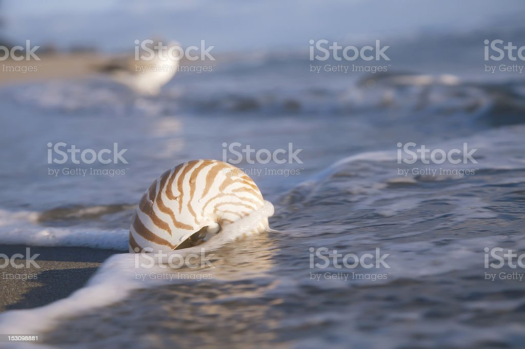 nautilus shell on beach  and blue sea royalty-free stock photo