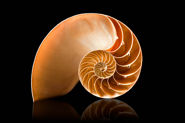 nautilus shell on black background - nautilus stock pictures, royalty-free photos & images
