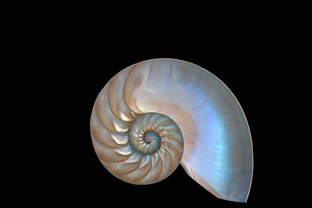 nautilus shell on black background. - nautilus stock pictures, royalty-free photos & images