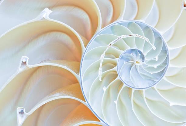 nautilus shell - 重複螺旋型 個照片及圖片檔