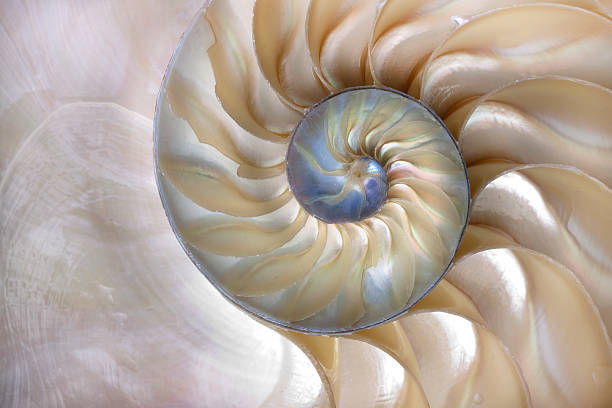 nautilus shell - nautilus stock pictures, royalty-free photos & images