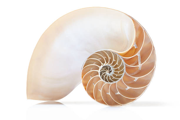 nautilus shell section on white with soft shadow - nautilus stock pictures, royalty-free photos & images