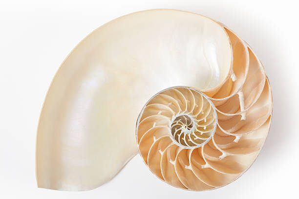 nautilus shell section with soft shadow - nautilus stock pictures, royalty-free photos & images