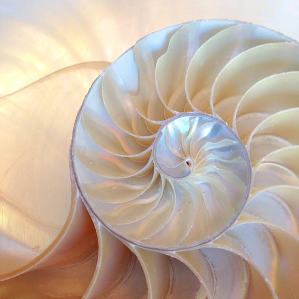 nautilus shell symmetry cross section spiral structure growth - nautilus stock pictures, royalty-free photos & images