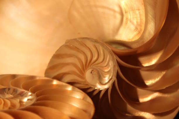 nautilus shell symmetry fibonacci half cross section spiral golden ratio structure growth close up back lit mother of pearl close up ( pompilius nautilus ) - golden ratio zdjęcia i obrazy z banku zdjęć