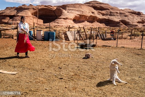 A beautiful young Navajo woman in a corral, roping a young lamb