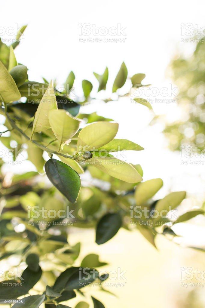Navel Orange Tree stock photo