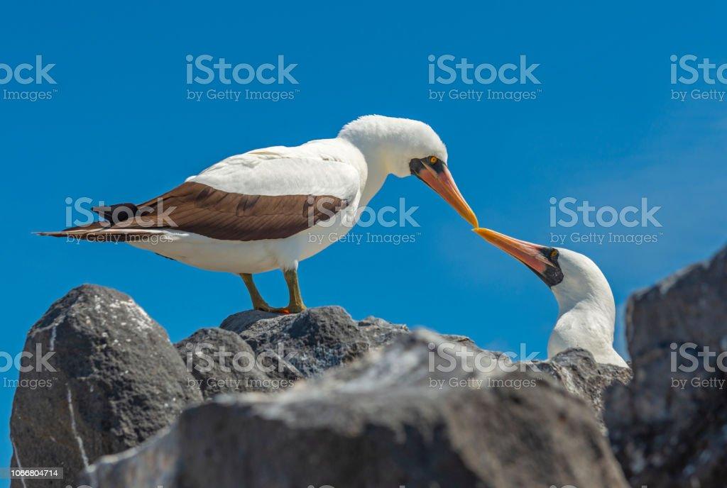 Piqueros de Nazca amor, Islas Galápagos, Ecuador - foto de stock