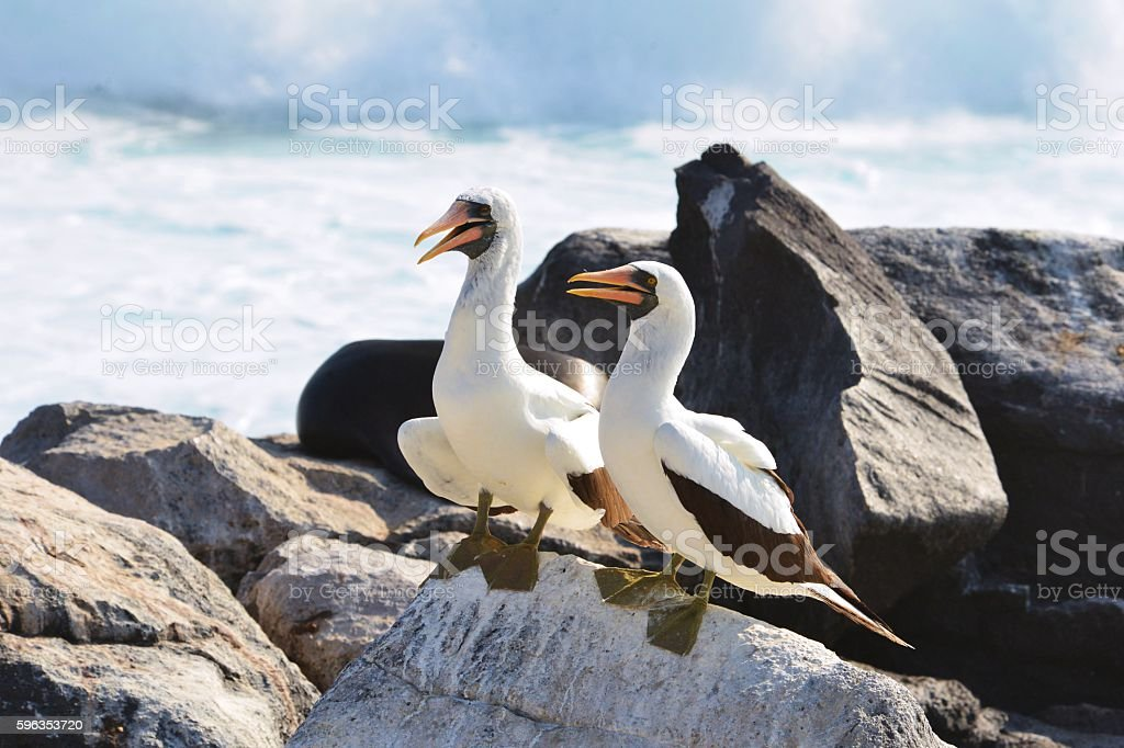 Nazca Boobies on a Rock royalty-free stock photo
