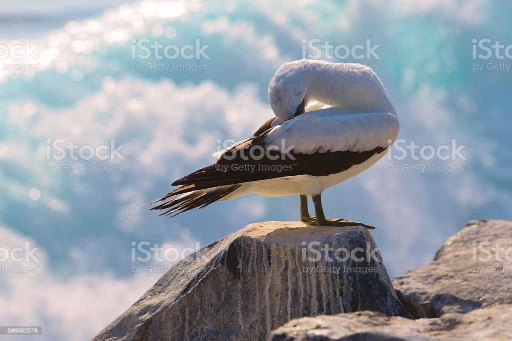 Nazca Booby and Wave royalty-free stock photo