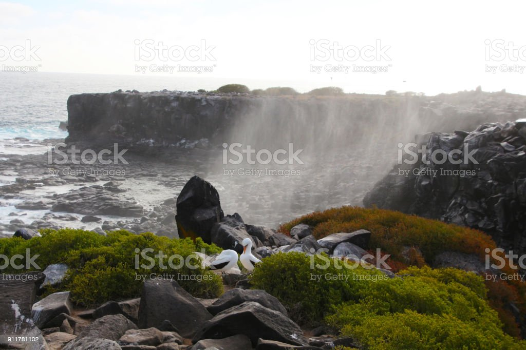 Piquero de Nazca-Islas Galápagos - foto de stock