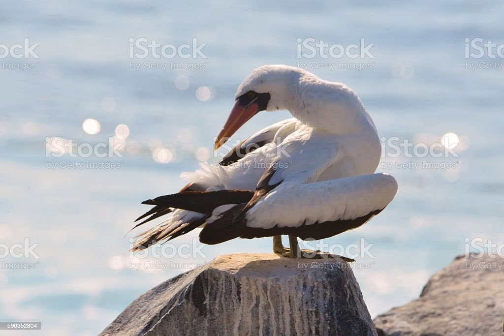 Nazca Booby with Twisted Neck royalty-free stock photo