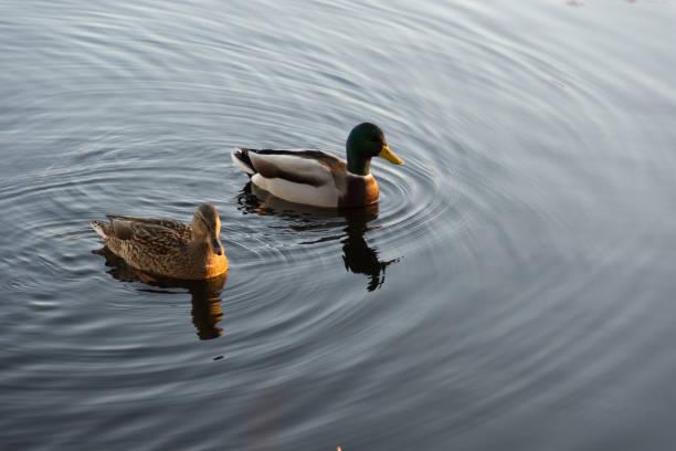 Änder i en sjö utanför Stockholm - foto de stock
