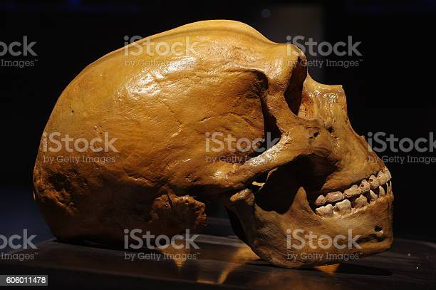 Neanderthal Skull Stock Photo - Download Image Now
