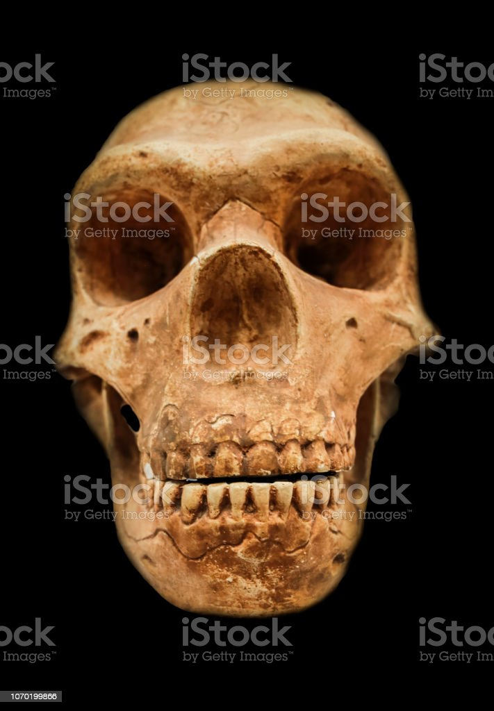 Neandertaler Schädel Reproduktion – Foto